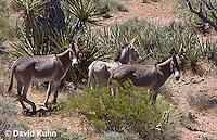 0711-1008  Wild Burro (Feral Donkey), Mojave Desert, Equus africanus asinus  © David Kuhn/Dwight Kuhn Photography