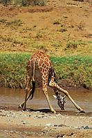 Reticulated giraffe (Giraffa camelopardalis) drinking, Africa.