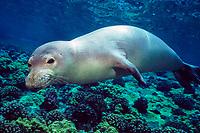 Hawaiian monk seal, Neomonachus schauinslandi (formerly Monachus schauinslandi), endemic species, endangered species, Maui, Hawaii, USA, Pacific Ocean