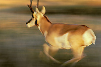 My249  Pronghorn antelope buck running.  National Bison Range, MT.  Fall.