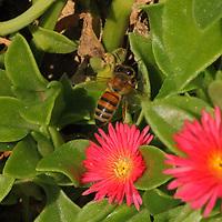 """A bee by macro on a succulent plant of """"Aptenia cordifolia"""", near to its flowers, in a flowerbed. This is an enlargement of the original photo (Tivoli, 2020).<br /> <br /> Un'ape con il macro su una pianta grassa di """"Aptenia cordifolia"""", in un'aiuola. Questo è un ingrandimento della foto originale (Tivoli, 2020)."""
