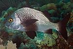 Anisotremus surinamensis, Black margate, Florida Keys