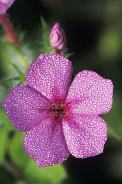 Pointed Phlox, Phlox cuspidata, blooming with dew, Lake Corpus Christi, Texas, USA