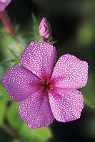 Pointed Phlox, Phlox cuspidata, blooming with dew, Lake Corpus Christi, Texas, USA