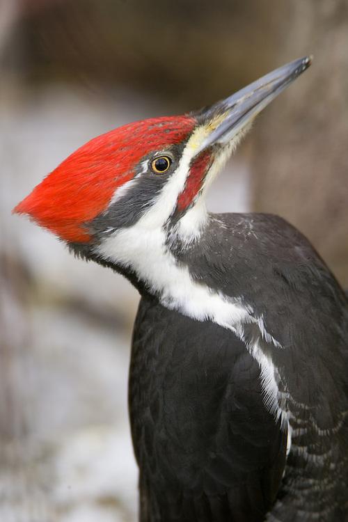 Pilleated Woodpecker Portrait