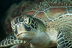 Nemo Thila, Maarehaa Island, Huvadhoo Atoll, Maldives; tight, detail, head and shoulder shots of a Green Sea Turtle (Chelonia mydas)