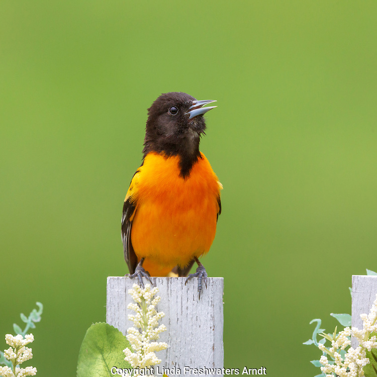 Male Baltimore oriole perched on a decorated backyard fence in northern Wisconsin.