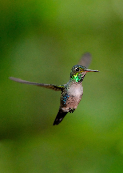 Colibrí Ventrivioleta / colibríes de Panamá.<br /> <br /> Violet-bellied Hummingbird / hummingbirds of Panama.<br /> <br /> Damophila julie.<br /> <br /> Edición de 25   Víctor Santamaría.