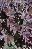 Heuchera perhaps Palace Purple, foliage plant leaves