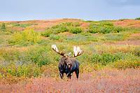 moose, Alces alces, bull walking on fall tundra in Denali National Park, interior, Alaska, USA, USA