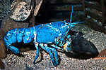 North Lobster, blue color phase.  This rare color occurs 1 in every 2 milion lobsters, side view