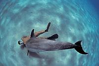 Snorkeler interacting with wild Bottlenose Dolphin, Tursiops truncatus, Nuweiba, Egypt, Red Sea., Northern Africa