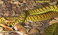 0423-1110  Mating Snakes, Pair of Western Green Mamba (West African Green Mamba) in Copulation, Closeup of Mating Ritual, Dendroaspis viridis  © David Kuhn/Dwight Kuhn Photography