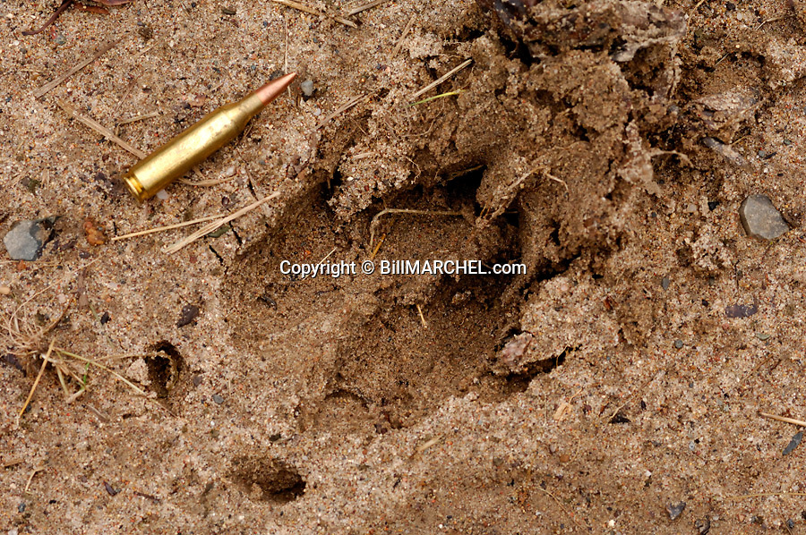 00273-039.04 White-tailed Deer Hunting (DIGITAL) Track of large buck in sand as compared to .243 cartridge. Note wide and blunt. H4A1