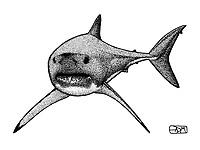 Longfin mako shark, Isurus paucus, swimming, pen and ink illustration.