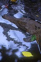 Palauan saltwater crocodiles (Crocodylus porosus), known locally in Palau as ius.