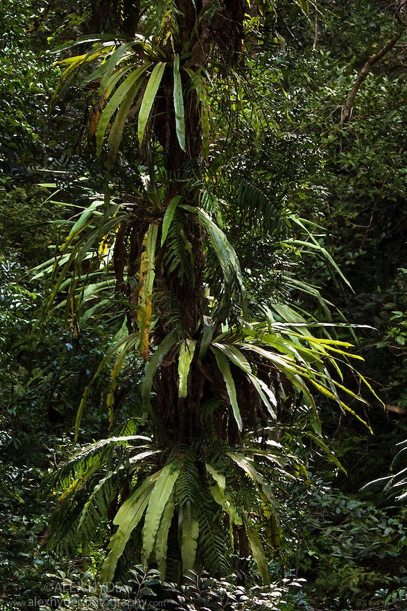 Ferns growing on tree trunk in lowland rainforest, Masoala Peninsula National Park, north east Madagascar.