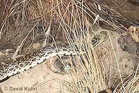 0519-1110  Gopher Snake (Pine Snake, Bull Snake), North American, Pituophis catenifer  © David Kuhn/Dwight Kuhn Photography