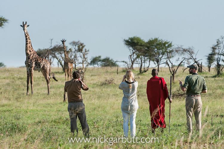 Tourists and guide with Masaai warriors wearing red shukas watching a herd of Maasai Giraffe (Giraffa camelopardalis). Walking safari across the open grassland of the Serengeti National Park, Tanzania.