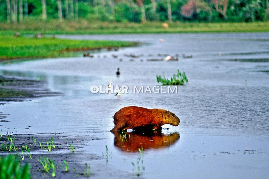 Animais. Mamiferos. Capivaras (Hyfrochoeris hidrochaeris). Pantanal. MS. Foto de Ricardo Azoury.