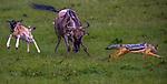 Kenya, Olare Motorogi Conservancy, common wildebeest (Connochaetes taurinus) being harassed by black-backed jackal (Canis mesomelas)