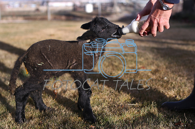 Rancher Kathi Hussman bottle-feeds a 4-day-old bummer lamb Thursday, Jan. 13, 2011 at the Hussman Ranch in Gardnerville, Nev. Four generations of Hussmans have raised sheep at the Carson Valley ranch dating back to the 1860s. .Photo by Cathleen Allison