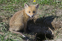 Red Fox Kit sitting outside the entrance to its den