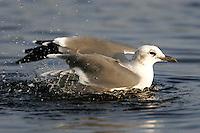 Adult laughing gull in non-breeding plumage bathing in rainwater pool