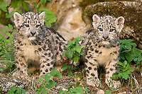 Pair of Snow Leopard kittens standing by some rocks - CA