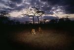 African lion, Okavango Delta, Botswana