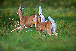 White-tailed doe and fawn fleeing from a meadow in northern Wisconsin.