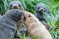 Antarctic fur seal, Arctocephalus gazella, aka Kerguelen fur seal, rare, leucistic pup, playing along with normally dark-colored pup, Cooper Bay, South Georgia, Atlantic Ocean