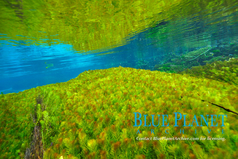 Underwater vegetation, predominantly stonewort algae, Chara rusbyana, at Sucuri River, Bonito, Mato Grosso do Sul, Brazil