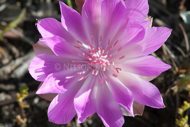The Bitterroot flower in Montana's State Flower. It grows in open rocky soil
