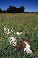 The SKELETON of a CAPE BUFFALO in the LONG RASS PLAINS - NORTHERN SERENGETI PLAINS - TANZANIA