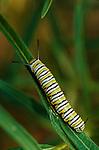15950-HL Caterpillar of Monarch Butterfly, Danaus plexippus, feeding on Narrow-Leaved Milkweed, in September at Bakersfield, CA USA