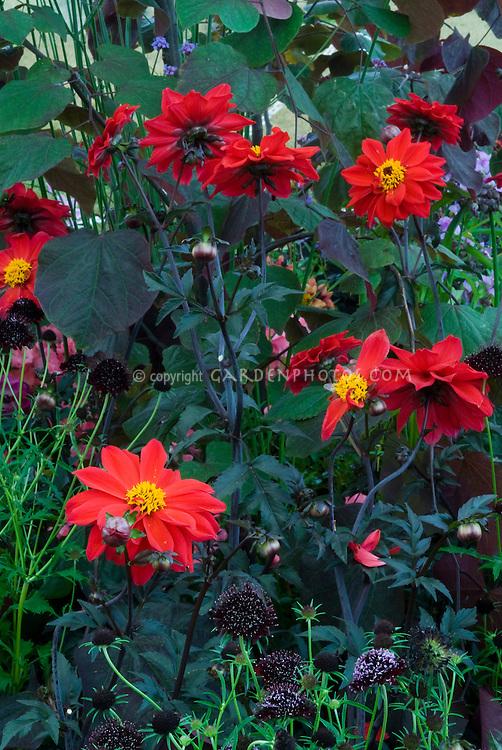 Black Plants: Dahlia Bishop of Llandaff, Scabiosa Chile Black, Cercis Forest Pansy. Semi double anemone type dahlia