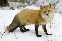 Red fox looks up inquisitively while standing in the snow - CA
