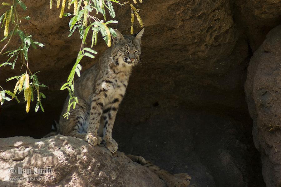 Bobcat, Lynx rufus. Arizona-Sonora Desert Museum, Tucson, Arizona