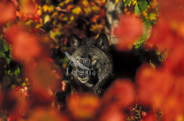 Gray Wolf (Canis lupus) black color phase & autumn maple leaves, eastern North America.