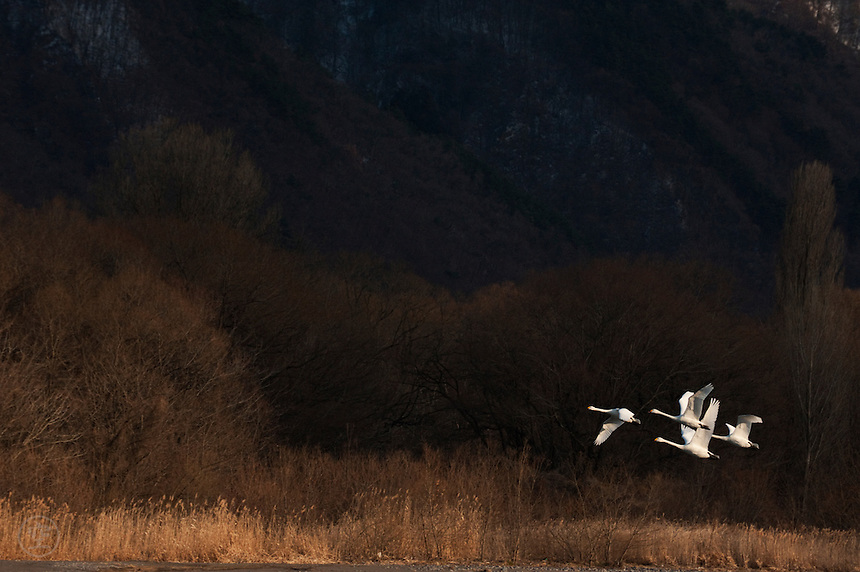 Tundra swans in flight against a Japanese landscape in late winter, Nagano Prefecture, Japan.