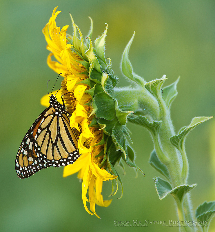 Monarch Butterfly collecting nectar from a sunflower
