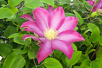 Bicoloured Clematis flower vine Pink Champagne is pink with paler pink centers