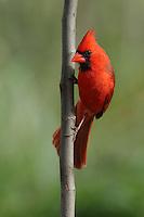 Male in spring, Redbud tree perch.