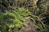 A track through the moss cloaked forest on the Routeburn Track near Lake MacKenzie - Fiordland National Park, New Zealand