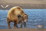 Pictured:  Sequence 8 of 13:  The mum having caught the fish is attacked by the other bear sending the fish flying through the air<br /> <br /> Grizzly bears viciously attack each other as they battle over a fish.  The two brown-haired bears became aggressive as they came to blows over their food, digging their paws and teeth into each other.<br /> <br /> Photographer Kevin Dooley spotted the female bear, thought to be about 16 years old, fighting with the younger five-year-old male bear in southwestern Alaska.  SEE OUR COPY FOR DETAILS.<br /> <br /> Please byline: Kevin Dooley/Solent News<br /> <br /> © Kevin Dooley/Solent News & Photo Agency<br /> UK +44 (0) 2380 458800