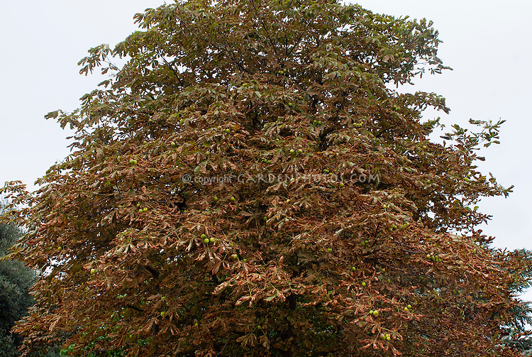 Horse chestnut leaf miner (Cameraria ohridella) on Aesculus plant tree insect pest problem