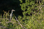 Brazoria County, Damon, Texas; a Yellow-crowned Night Heron bird standing on a tree branch in late afternoon sunlight