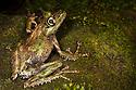 Tree frog {Mantidactylus aglavei} camouflaged on mossy branch in rainforest. Andasibe-Mantadia National Park, Eastern Madagascar.