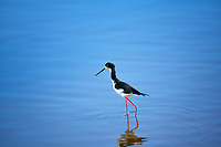 Hawaiian Stilt. Kealia Pond National Wildlife Refuge. Maui, Hawaii